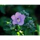 可憐なチシマフウロの花