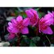 可憐に咲くエゾツツジの花