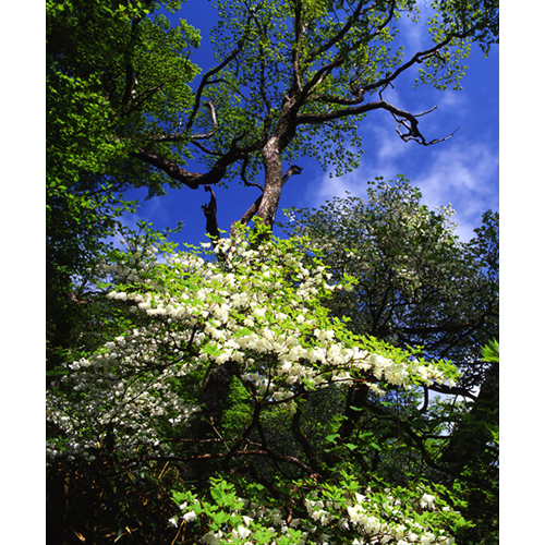 樹とシロヤシオ