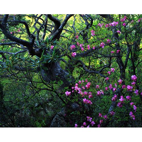 樹とアケボノツツジ