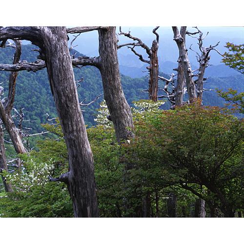 樹と白ヤシオ