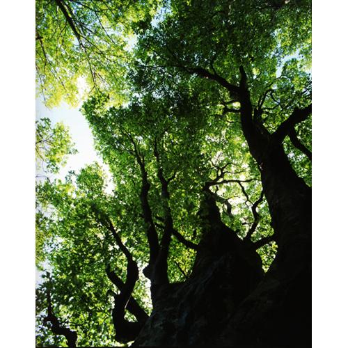 新緑とブナの大樹