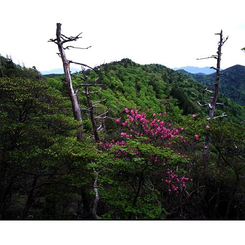 樹とアカヤシオ
