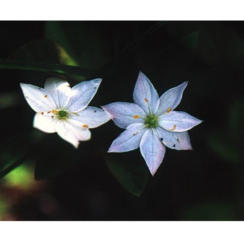 可憐に咲くツマトリソウの花