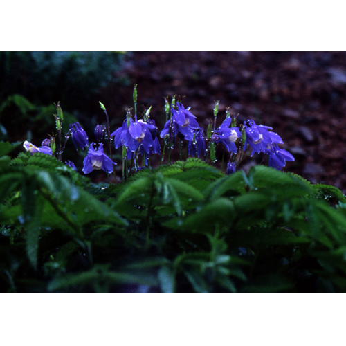 濡れたミヤマオダマキソウの花