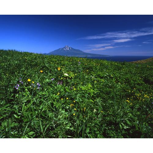 お花畑と利尻富士