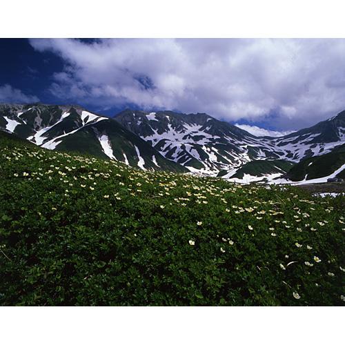 チングルマと立山