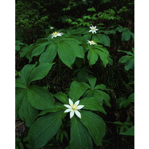 キヌガサソウの花