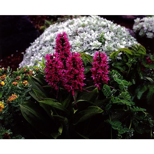 濡れたハクサンチドリの花